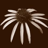 Cone Flower Duotone