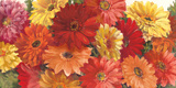 Bountiful Gerberas Crop