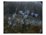 Bluebells  Olympic Peninsula  Low Divide  ca 1924