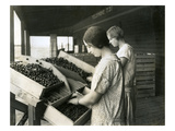 Two Women Packing Cherries (June 22  1928)