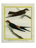 Sooty Tern and Crimson-Collared Tanager