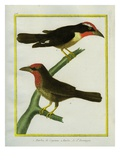 Barbets of Cayenne and of Hispaniola