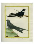 American Black Swift and White-Collared Swift