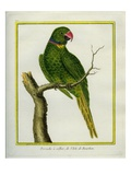 Emerald-Collared Parakeet