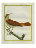Rufous Hornero