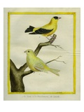 Atlantic Canary and American Goldfinch