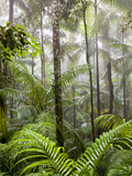 Rainforest  Eungella National Park  nr Mackay  Australia
