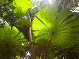 Fan Palm in the Daintree Rainforest  North Queensland  Australia