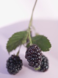 Blackberries on Stalk with Leaves