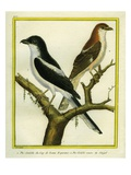 Magpie Shrike and Red-Backed Shrike