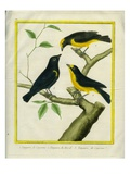 Cayenne and Brasilian Tanagers