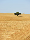 Holm Oak in the Vast Plains of Alentejo  Portugal