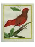 Guianan Red-Cotinga