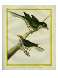 Wrenthrush and Hermit Thrush