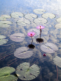 Indonesia  Sumatra  Samosir Island  Lake Toba  Water Lillies
