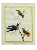 Cayenne Hummingbirds