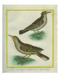 Eurasian Skylark and Oriental Skylark