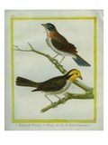 Yellowhammer and Cape Bunting