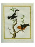 White-Bearded Manakin and Orange-Bellied Manakin