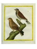 Ortolan Bunting and Reed Bunting
