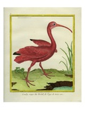 The Brazilian Red Curlew