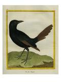 Senegal Magpie