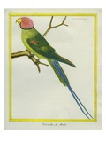 Seychelles Parakeet