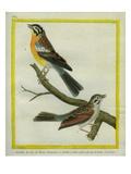 Shrike and L'Ortolan À Ventre Jaune Du Cap De Bonne-Espérance
