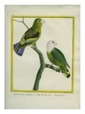Lilac-Tailed Parrotlet and Grey-Headed Lovebird