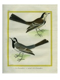 Wagtail and White Wagtail