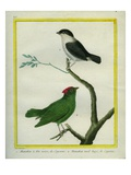 White-Bearded Manakin and Blue-Backed Manakin