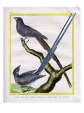 White-Backed Mousebird and Blue-Naped Mousebird