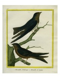 Purple Martin and Lesser Swallow-Tailed Swift