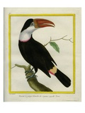 White-Throated Toucan  also known as Tocan