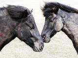 Icelandic Horses  Iceland