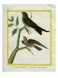 Caribbean Martin and Mascarene Martin