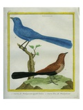 Madagascar Cuckoo and Blue Coua