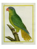 Black-Lored Parrot