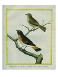And Yellow-Tailed Oriole