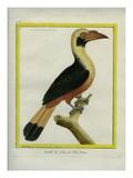 Female Tarictic Hornbill