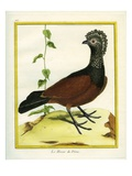 The Black Curassow