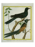 Asian Koel and Chestnut-Winged Cuckoo