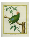 Male Red-Headed Lovebird