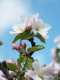 Apple Blossom on the Tree