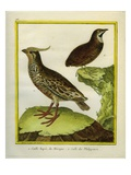 Mexican Crested Quail and the Philippines Quail