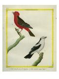Pied Flycatcher and Vermillion Flycatcher