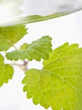 Lemon Balm in a Glass of Water