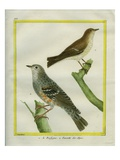 Orphean Warbler and Cetti's Warbler