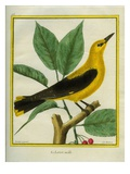 Male South American Yellow Oriole