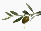 Olive Oil Dripping from Olive on Branch